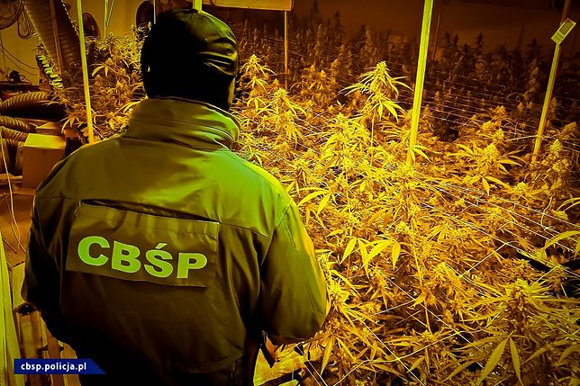 Udało się przejąć 1700 krzaków w pełnej fazie dojrzałości (cbsp.policja.pl)