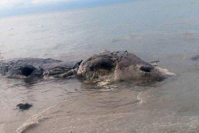 Fale wyrzuciły na plażę Filipin tajemnicze stworzenie. Władze szybko zareagowały