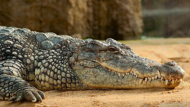 Hiszpania. Krokodyl nilowy zagraża ludziom w kilku miastach.