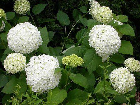Hortensja krzewiasta (Hydrangea arborescens)