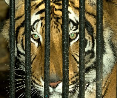 W budynku znaleziono zwierzę w klatce, ważyło prawie 160 kg