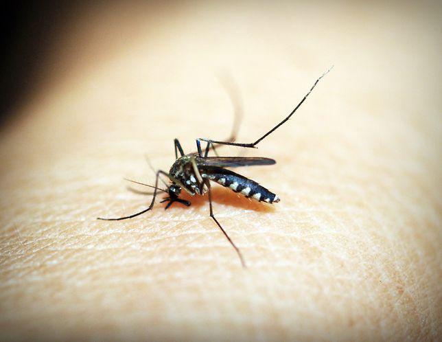 Komar. Niektóre z nich czekały lata na wylęgniecie.