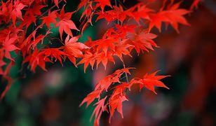 Ozdoba każdego ogrodu – klon japoński