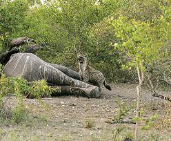 Śmierć 350 słoni. Tajemnicza tragedia w Afryce. Naukowcy mają dwie hipotezy