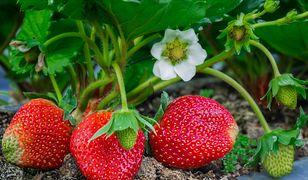 Jak rozpoznać polskie truskawki? 4 wskazówki, dzięki którym już nigdy się nie zawahasz