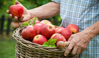 Brakuje ludzi do zbierania owoców