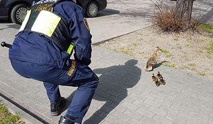Warszawa. Kaczka z młodymi potrzebowała pomocy. Akcja strażników [ZDJĘCIA]