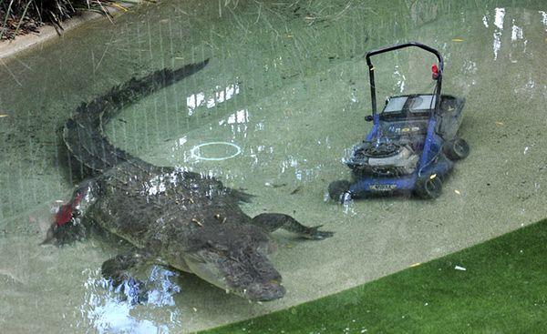 Olbrzymi gad rzucił się na pracownika parku - zdjęcia