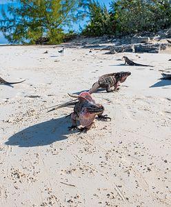 Bahamy. Trenerka jogi zaatakowana przez iguanę