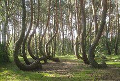 Krzywy Las w Gryfinie. Sosny idą pod topór