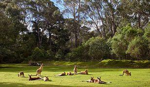 Australia. Nastolatkowie zabili 14 kangurów