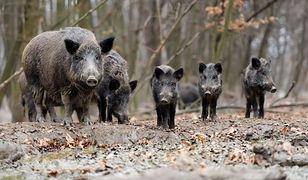 Polowanie na dziki. Mieszkańcy Białołęki dowiedzieli się o akcji z Facebooka
