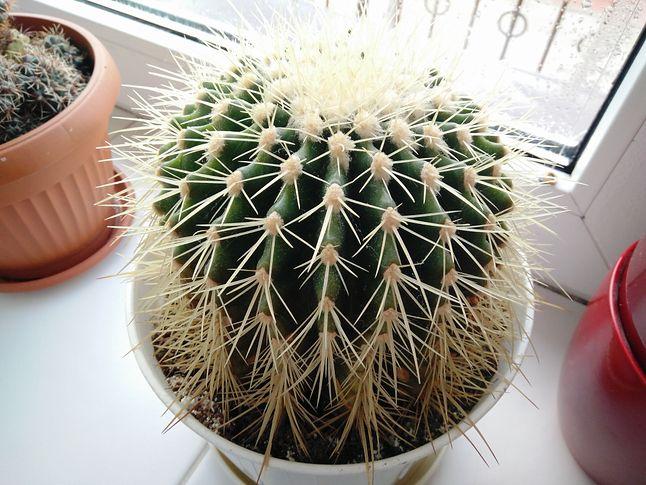 Kaktus pod oknem