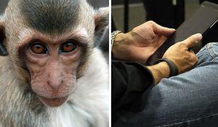 Przezabawne nagranie pokazuje małpkę uczącą swoje młode... korzystania z tabletu