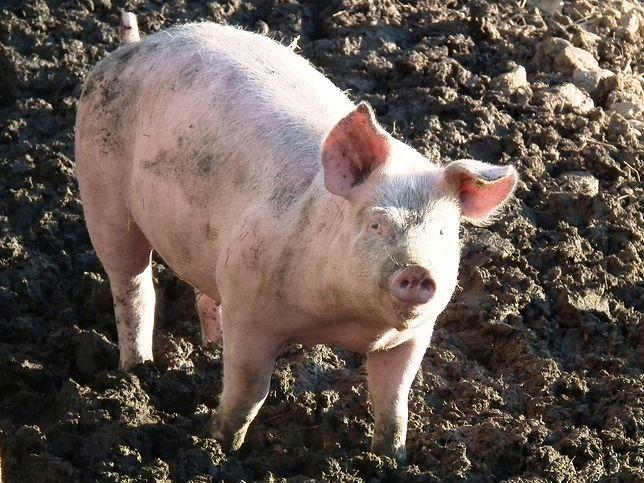 W Hiszpanii jest więcej świń niż ludzi