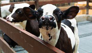 """Krowy są bardziej """"rozmowne"""" niż naukowcy początkowo zakładali"""