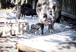 Chcą wybić kilkadziesiąt zwierząt żyjących w leśnym azylu. Powodem ma być... profilaktyka