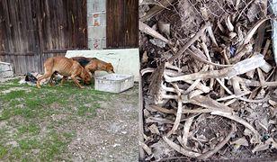 Tylko cztery z około dwudziestu psów przeżyły na posesji we wsi Szczodrowo