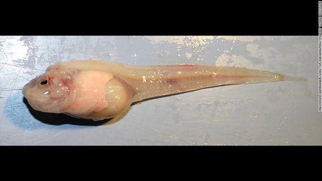 Ryba ślimakowata z dna Rowu Mariańskiego