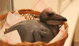 Mały pelikan, lama i małpki - narodziny w warszawskim ZOO