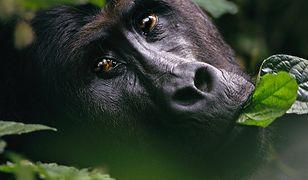 Czerwona księga zagrożonych gatunków. UICN dokonała zmian na liście, goryl wschodni o krok od wymarcia