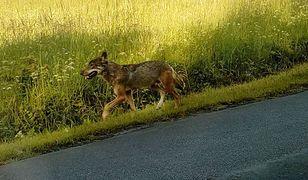 Jednak to wilk pogryzł dzieci w Bieszczadach. Są badania genetyczne