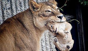 Zoo w Kopenhadze znowu zabija zwierzęta