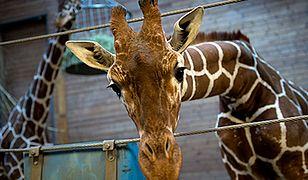 Skandal w duńskim zoo
