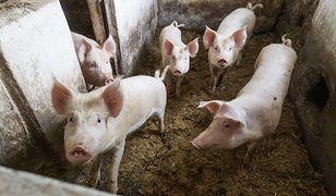 20 razy więcej świń niż ludzi. Mieszkańcy Przyborowa kłócą się o trzodę