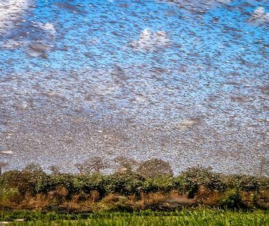 W jednym km kw. roju może być 150 mln owadów