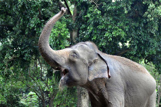 Słoń, Indonezja - zdjęcie poglądowe