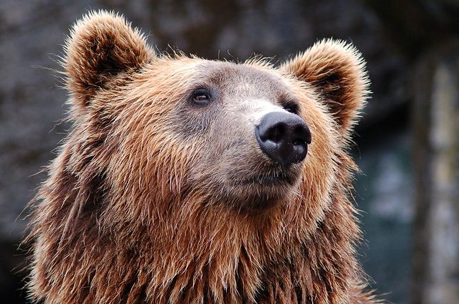 Tragedia w Tatrach na Słowacji. Niedźwiedź zagryzł mężczyznę