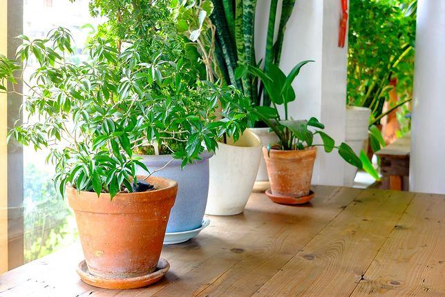 Rośliny doniczkowe są jednym ze sposobów na nawilżanie powietrza w domu