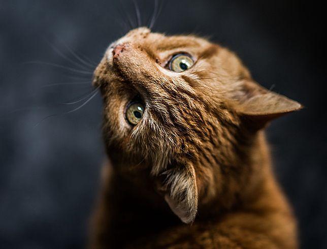 Koty to jeden z ponad 20 gatunków zwierząt, dla których COVID-19 może być śmiertelny
