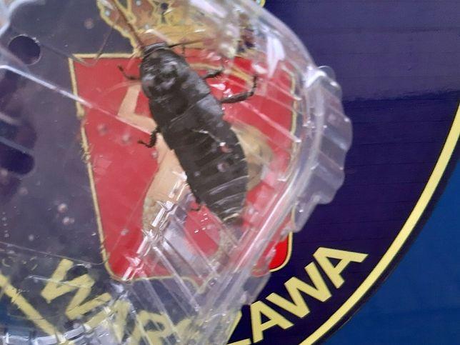 Warszawa. Strażnicy miejscy bezpiecznie odłowili robaka