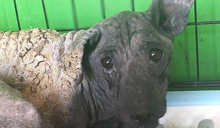 Pies ze spaloną sierścią przygarnięty przez Fundację