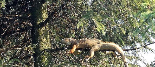 Iguana została bezpiecznie zdjęta z drzewa (fot: Bartłomiej Jarosz, OSP w Chełmie Śląskim)