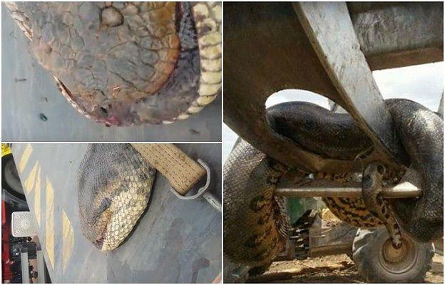 Zaskoczenie na budowie. Robotnicy znaleźli rekordowego węża!