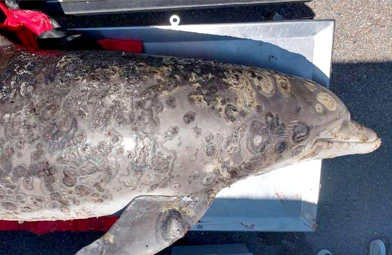 Niszczycielska choroba zabija delfiny. Naukowcy szukali jej źródła od 2005 r.