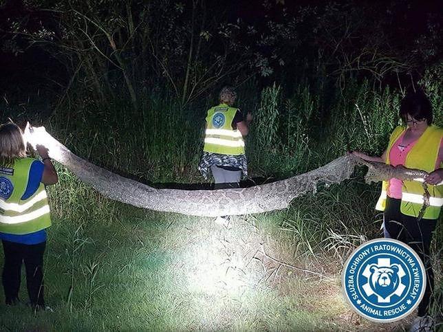 Wylinka pytona znaleziona w miejscowości Gassy