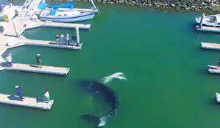 Wieloryb pływał pomiędzy jachtami. Ten widok zszokował turystów