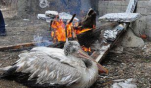 Pelikan grzeje się przy ognisku