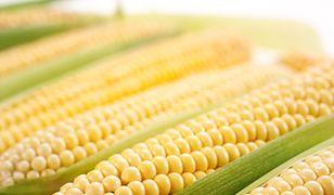Kukurydza rośnie w Polsce jak na drożdżach