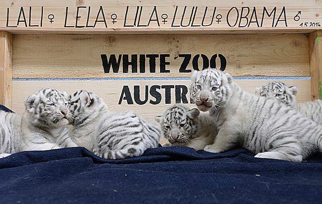 Radość w zoo. Pierwszy przypadek w Europie - zdjęcia