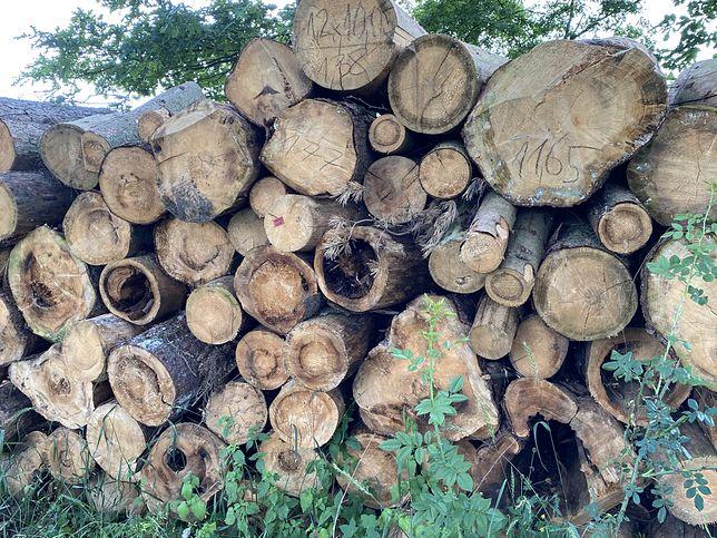 Warszawa. Szykuje się wielka wycinka w Lesie Kabackim. Wojsko chce zlikwidować 264 drzew, by urządzić porządny parking dla pracowników ukrytej w lesie, dawniej tajnej jednostki