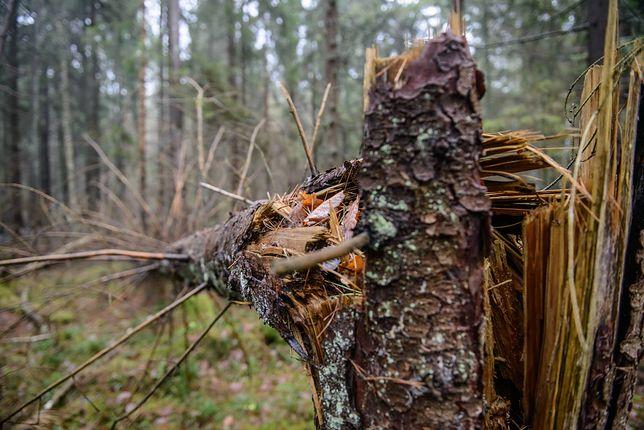 Blokowali wycinkę drzew w Puszczy Białowieskiej. Sąd uznał aktywistów za niewinnych