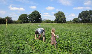 Truskawki zbierz sobie sam. Rolnicy będą otwierać swoje pola