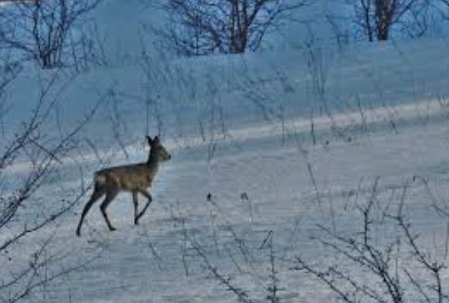 Warszawa. Psy pobiegły za sarną. Jeden z nich instynkt łowiecki przypłacił życiem