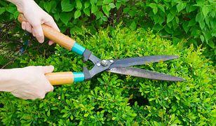"""Żywopłot formowany - jakie wybrać rośliny by mieć piękną """"zieloną ścianę"""""""
