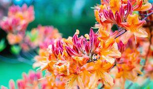 Jeden z najpiękniejszych rododendronów w polskich ogrodach